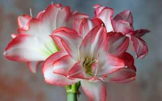 Цветы амариллис посадка и уход