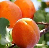 Выращивание абрикоса в средней полосе России