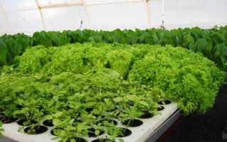 Выращивание зелени в теплице зимой на продажу