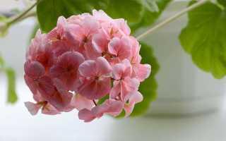 Выращивание герани из семян в домашних условиях