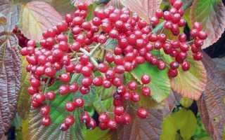 Как правильно посадить калину осенью