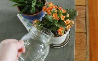 Как часто поливать каланхоэ в домашних условиях