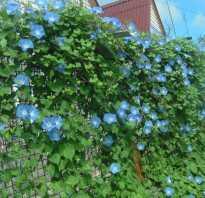 Цветок вьющийся садовый