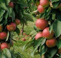 Когда лучше посадить яблоню весной или осенью