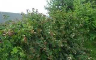 Ежевика садовая посадка размножение и уход