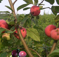 Как привить яблоню осенью на старое дерево