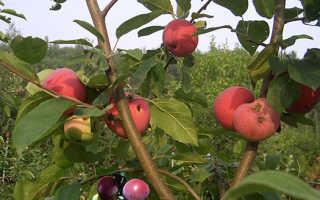 Когда прививают яблони весной или осенью
