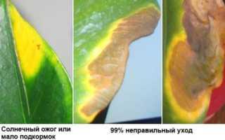 Антуриум сохнут листья