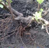 Пересадка старого винограда осенью