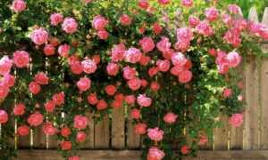 Роза висли