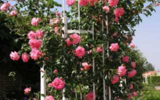 Розы морозоустойчивые сорта