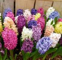Цветок домашний луковичный