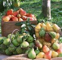Как посадить саженцы груши осенью