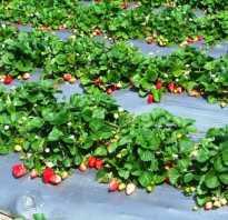 Когда лучше пересаживать клубнику осенью или весной