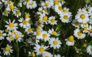 Цветочки ромашки