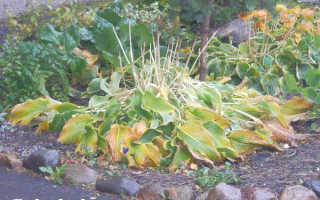 Пересадка хосты осенью