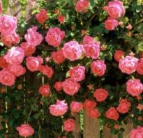 Римоза роза
