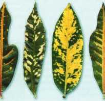 Цветок кодиеум экселент