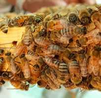 Виды пчел в России