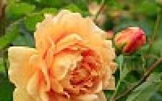 На какую глубину сажать розы