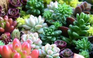 Выращивание суккулентов