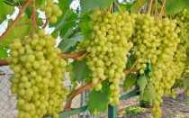 Виноград алешенькин посадка и уход