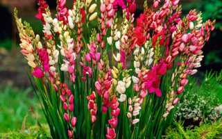 Иксия выращивание и уход в саду