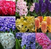 Гиацинт цвет