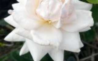 2 метра розы