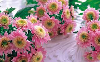 Хризантемы ромашковидные