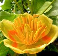 Лириодендрон тюльпановый в подмосковье