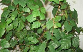 Домашнее растение березка
