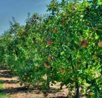 Соседство плодовых деревьев в саду