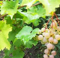 Как срезать черенки винограда для посадки