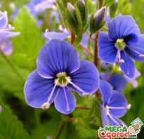 Цветы вероника