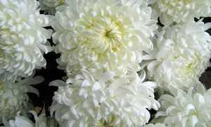 Белые хризантемы значение