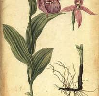 Крупноцветковый башмачок