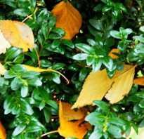 Как пересадить самшит осенью