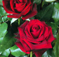 Роза магия