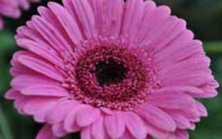 Цветок гербер