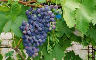 Как обрезать молодой виноград осенью