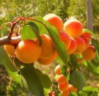 Когда обрезать абрикос весной или осенью