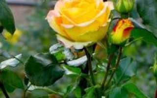 Уход за садовыми цветами осенью