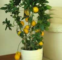 Почему у комнатного лимона опадают листья