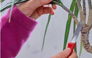 Как подрезать драцену