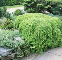 Тенелюбивые хвойные растения для сада