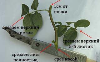Черенкование розы в картошке
