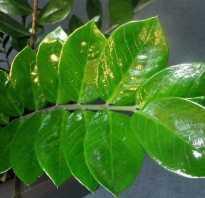 Липкие листья на комнатных цветах