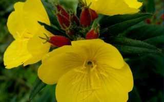 Цветы которые распускаются вечером