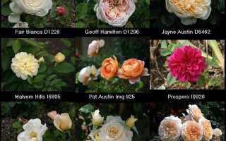 Как правильно обрезать розы летом